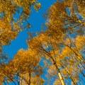 Fall aspens in sunset light.- Bears Ears National Monument