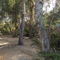 Eucalyptus trees near the entrance of Temescal Gateway Park.- The Complete Guide to Rancho Palos Verdes, California