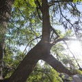 Tipu tree (Tipuana tipu), native of South America, near the Griffith Observatory.- Exploring the Hollywood Hills: A Complete Weekend