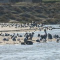 Brown pelicans (Pelecanus occidentalis) and western gulls (Laris occidentalis) at Malibu Lagoon State Beach.- 15 Favorite Family Beach Day Explorations