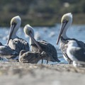 Brown pelicans (Pelecanus occidentalis) and western gulls (Laris occidentalis) at Malibu Lagoon State Beach.- Best of Malibu: Beaches, Camping, Parks and Trails