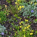 High Camp ground cover.- Incredible Hikes for Alpine Wildflowers