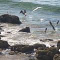 Brown pelicans (Pelecanus occidentalis) at Abalone Cove Shoreline Park.- L.A.'s 15 Best Kid-Friendly Hikes