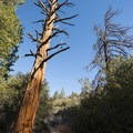 California incense cedar (Calocedrus decurrens) along the Silver Moccasin Trail.- Exploring the Angeles Crest Highway: A Complete Weekend Itinerary