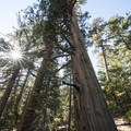 Giant California incense cedar (Calocedrus decurrens) at Buckhorn Campground.- Best Camping Near L.A.