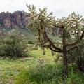 Large cholla cactus along Treasure Loop Trail.- 15 Must-Do Hikes Near Phoenix, AZ