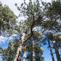 Giant ponderosa pines (Pinus ponderosa) at Table Mountain Campground.- Best Camping Near L.A.