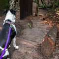 The Branceforte Creek Trail is a dog friendly hike.- 15 of California's Best Dog-Friendly Hikes