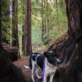 The Lower Redwood Loop Trail.- 15 of California's Best Dog-Friendly Hikes