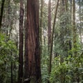 The Redwood Grove Loop Trail in Henry Cowell Redwoods State Park.- Fern River Resort