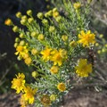 Joshua Tree- Early Season Wildflower Exploration: California Super Blooms in 2017