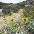 Acton encelia (Encelia actoni) along the Cottonwood Springs Nature Trail.- 11 Best Day Hikes in Joshua Tree National Park