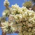 Joshua tree (Yucca brevifolia) in Joshua Tree National Park.- Early Season Wildflower Exploration: California Super Blooms in 2017