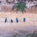 Cormorants on the cliffside along Geoffroy Drive.- Winter is for the Birds