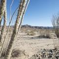 Ocotillo (Fouquieria splendens).- Joshua Tree National Park