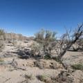 Smoketree (Psorothamnus spinosus) near the Ocatillo Patch in Pinto Basin, Joshua Tree National Park.- Pinto Basin