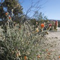 Desert mallow (Sphaeralcea ambigua) at Cottonwood Campground.- Guide to Camping in Joshua Tree National Park