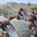 Beavertail cactus (Opuntia basilaris), seen along the Ryan Ranch Trail.- Guide to Hiking in Joshua Tree National Park