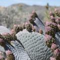 Beavertail cactus (Opuntia basilaris).- Best Day Hikes Near Palm Springs