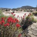Desert paintbrush (Castilleja chromosa).- Early Season Wildflower Exploration: California Super Blooms in 2017