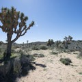 Joshua trees (Yucca brevifolia) along the Lost Horse Loop Trail.- Best Day Hikes Near Palm Springs