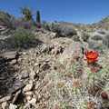 Mojave mound cactus (Echinocereus mojavensis) along the Lost Horse Loop Trail.- Best Day Hikes Near Palm Springs