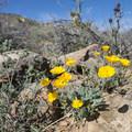 Mojave poppy (Eschscholzia glyptosperma).- Joshua Tree National Park
