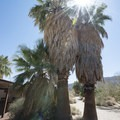 California fan palms (Washingtonia filifera) at the Oasis of Mara.- Joshua Tree National Park