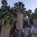 California fan palms (Washingtonia filifera) in the Fortynine Palms Oasis.- Joshua Tree National Park