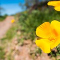 Mexican gold poppy on the Yavapai Point Trail.- Celebrating Earth Day with Action