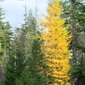Western larch (Larix occidentalis) in the fall near Green Ridge Fire Lookout.- Oregon Fall Adventures
