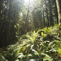 Western sword fern (Polystichum munitum) along the Giant Douglas Fir Trail.- Cultus Lake Provincial Park