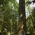 Giant Douglas fir (Pseudotsuga menziesii).- Cultus Lake Provincial Park