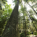 Giant Douglas Fir (Pseudotsuga menziesii).- 5 Reasons Why You Should Spend a Weekend at Cultus Lake