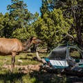 Elk and other wildlife are common sights around Grand Canyon Village and in the campgrounds.- Grand Canyon National Park