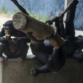 Chimpanzees at the Los Angeles Zoo, Griffith Park.- Griffith Park