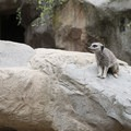 Meerkat at the Los Angeles Zoo, Griffith Park.- Griffith Park