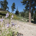 Penstemon along Grand View Point Hike.- 5 Great Hikes in the San Bernardino Mountains