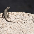 Western fence lizard (Sceloporus occidentalis) at Grand View Point.- 5 Great Hikes in the San Bernardino Mountains