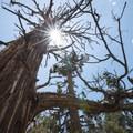 Western juniper (Juniperus occidentalis) along the Woodland Interpretive Trail.- 3-day Itinerary for Big Bear Lake, California