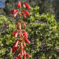 Scarlet bugler (Penstemon centranthifolius) and bigberry manzanita (Arctostaphylos glauca) along the Cougar Crest Trail.- 10 Great Hikes in the San Bernardino Mountains