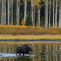 A moose wades leisurely in Willow Lake.- Willow Heights Hike