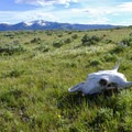 Bison skull along Agate Creek Trail. - 15 Backcountry Hikes in Yellowstone National Park
