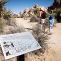 Signs along the trail make this a great way to learn about the area.- 11 Best Day Hikes in Joshua Tree National Park