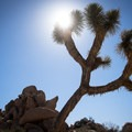 A Joshua tree along the Hidden Valley Trail in Joshua Tree National Park- Where NOT to go this summer - unless you can take the heat!