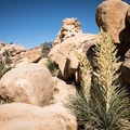 Yuccas in bloom along the Hidden Valley Trail.- Joshua Tree National Park