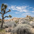 An iconic Joshua tree along the Skull Rock Nature Trail.- California's 60 Best Day Hikes