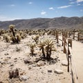 The interpretive trail at the Cholla Cactus Garden.- 11 Best Day Hikes in Joshua Tree National Park