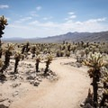 Cholla Cactus Garden, Joshua Tree National Park.- 11 Best Day Hikes in Joshua Tree National Park