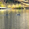 Cormorants enjoying the American River.- Examining The Sacramento Watershed: The Conservation